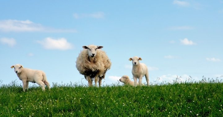 The Sheep & The Shepherd